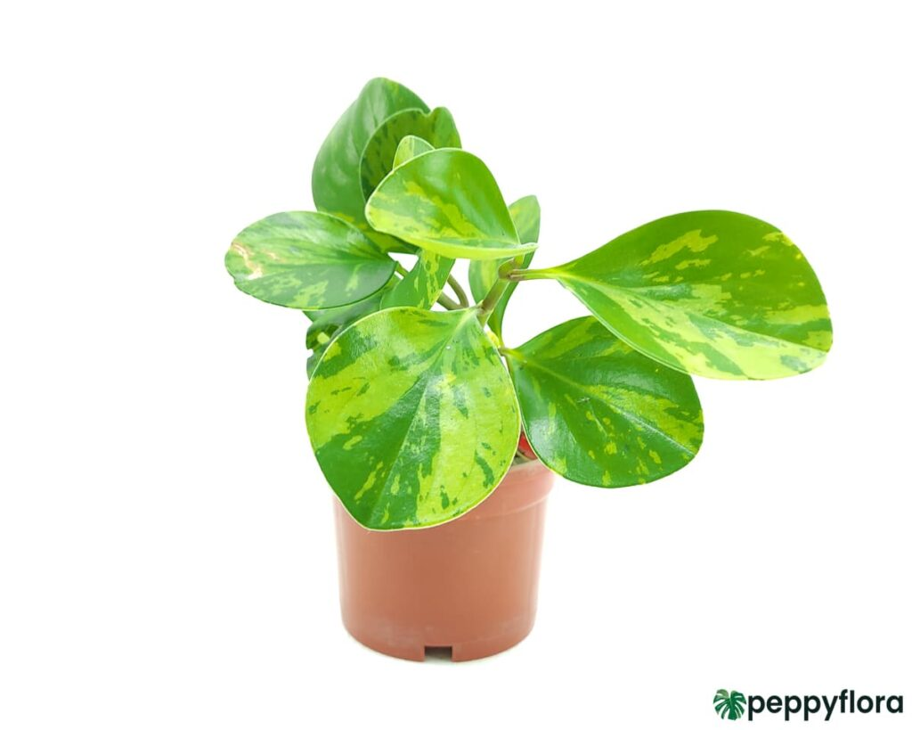 Green-Variegated-Peperomia-Obtusifolia-Product-Peppyflora-02-Moz