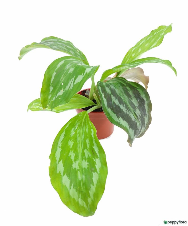 Peacock-Ginger-Plant-Kaempferia-Product-Peppyflora-01-a-Moz
