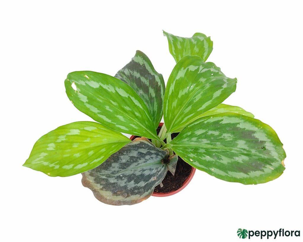 Peacock-Ginger-Plant-Kaempferia-Product-Peppyflora-02-Moz