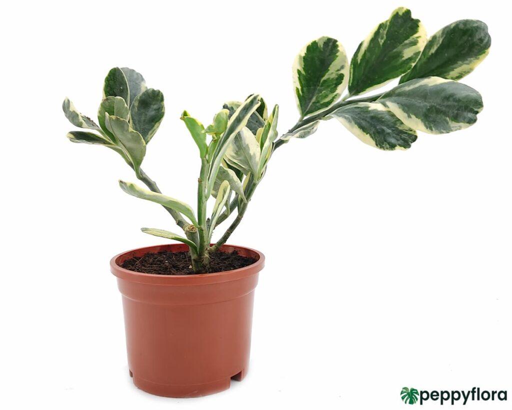 Pedilanthus-Jurassic-Park-Product-Peppyflora-02-Moz