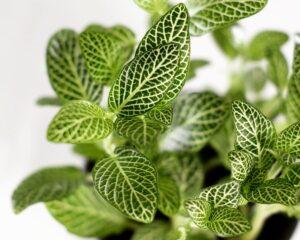 Peppyflora-Fittonia-Plant-Care-01-Moz
