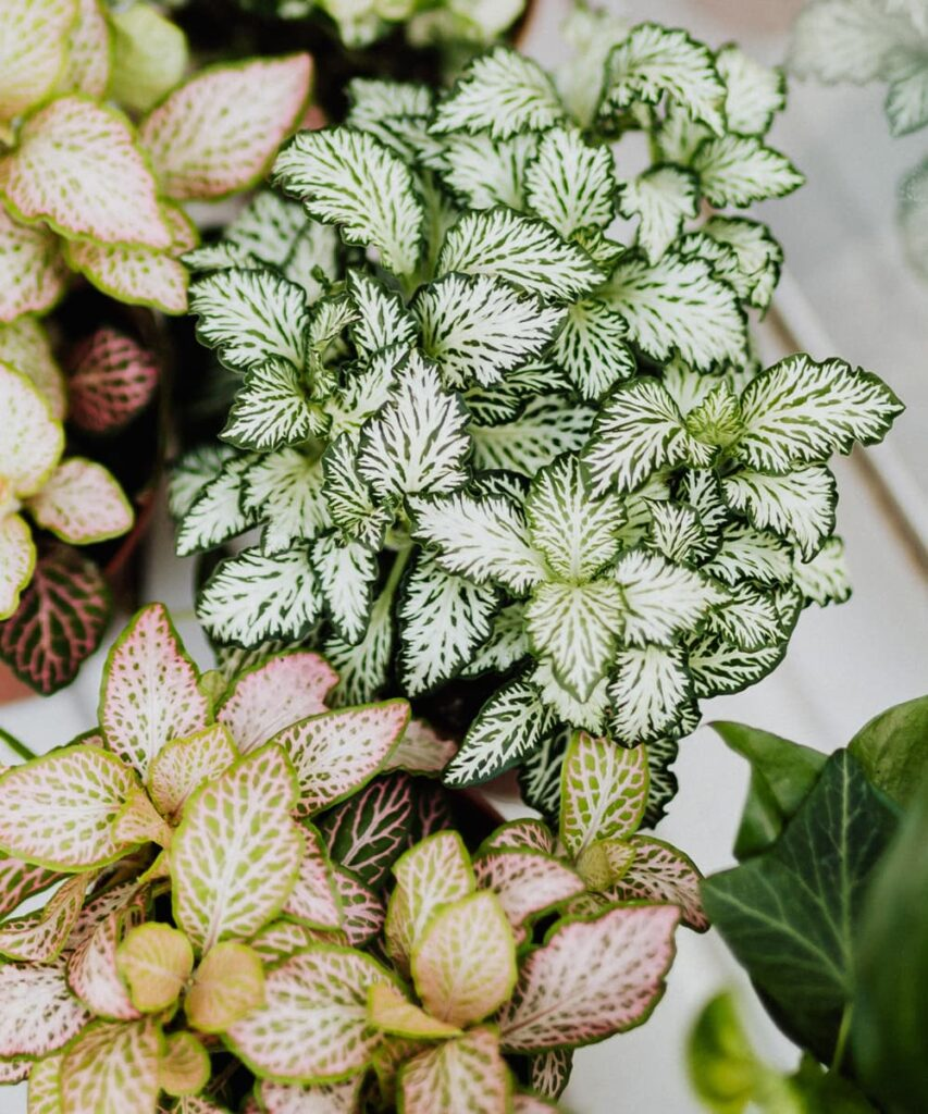 Peppyflora-Fittonia-Plant-Care-02-b-Moz