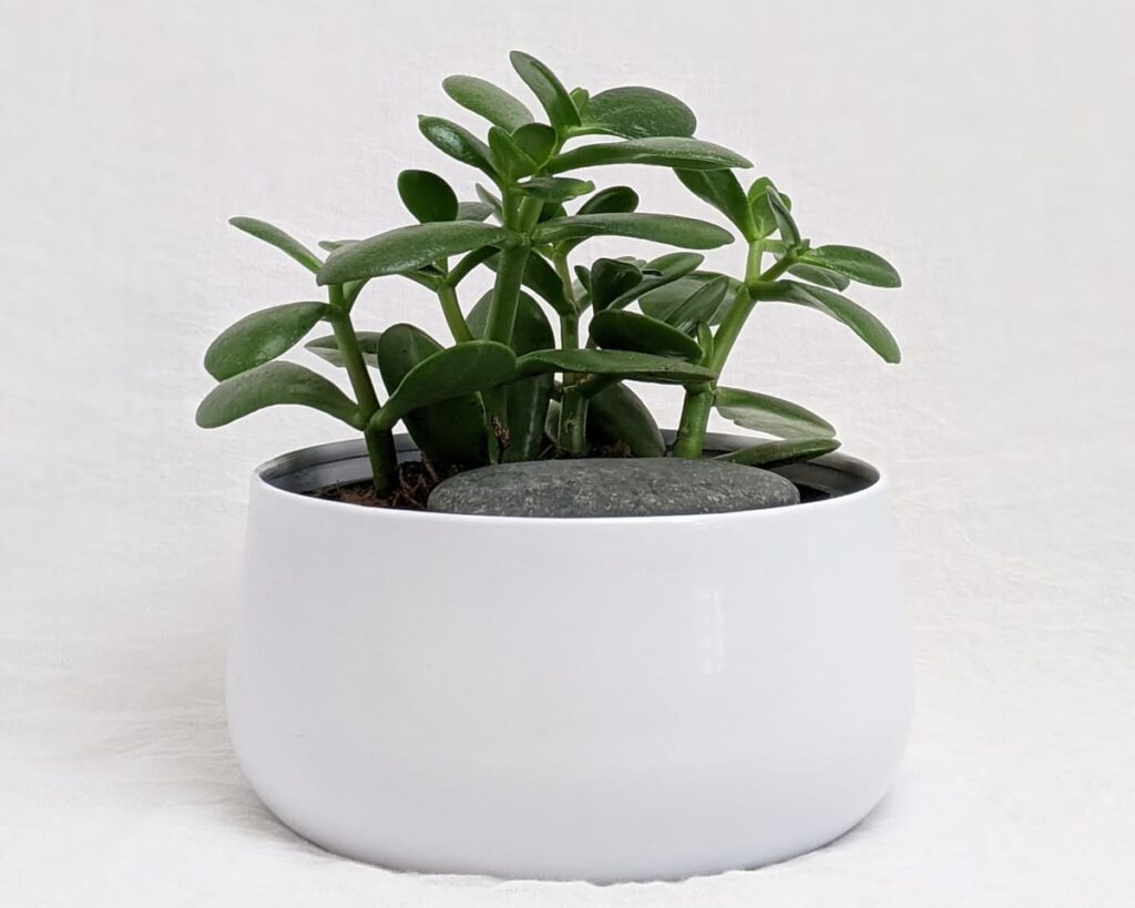 Peppyflora-Jade-Plant-Care-01-Moz