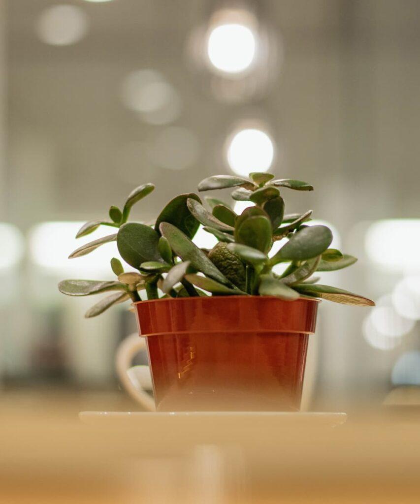 Peppyflora-Jade-Plant-Care-02-b-Moz