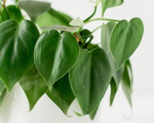 Peppyflora-Philodendron-Care-01-Moz