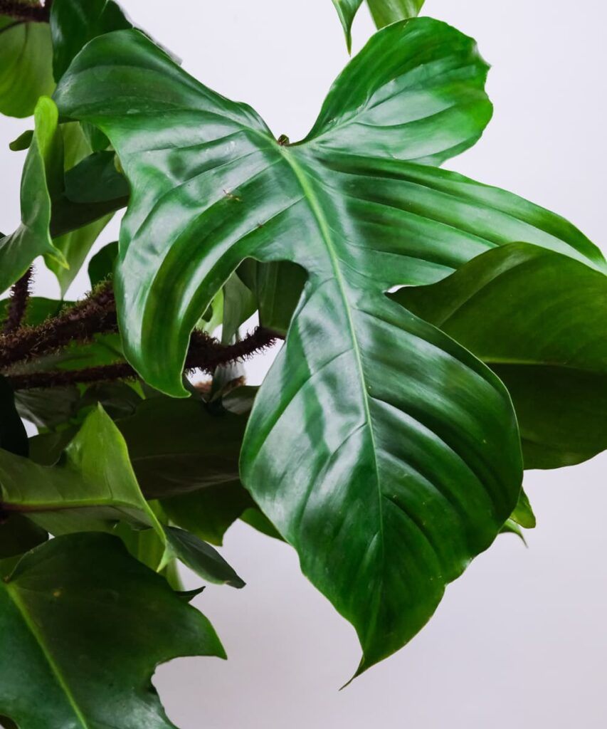 Peppyflora-Philodendron-Care-02-b-Moz