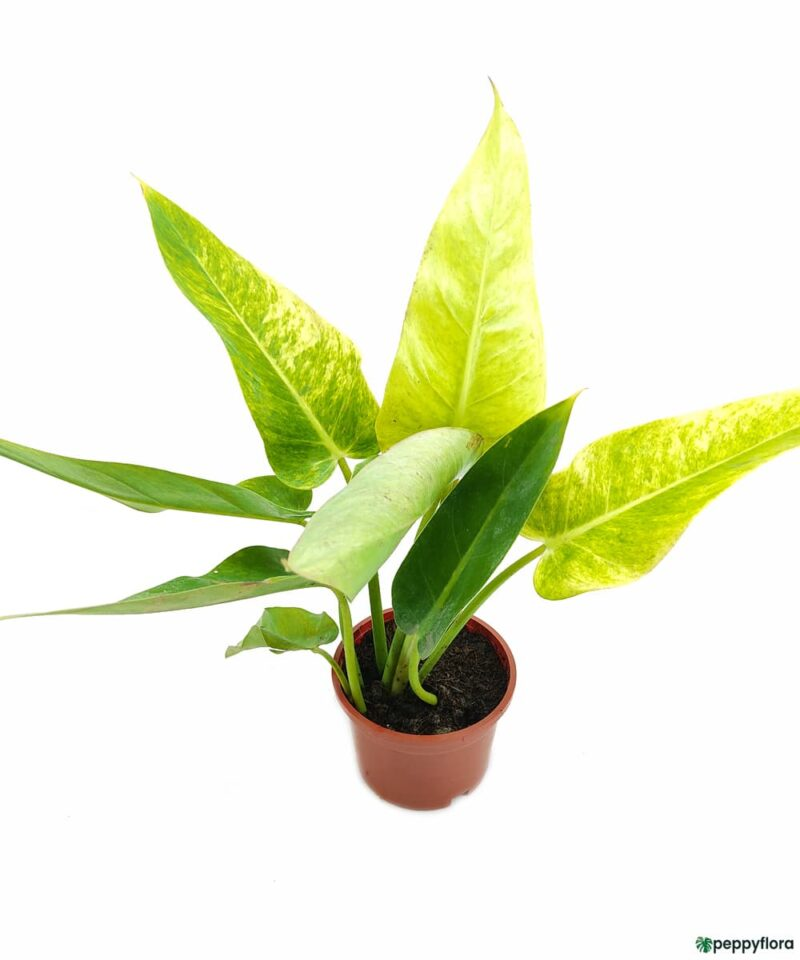 Philodendron-Calkins-Gold-Product-Peppyflora-01-a-Moz