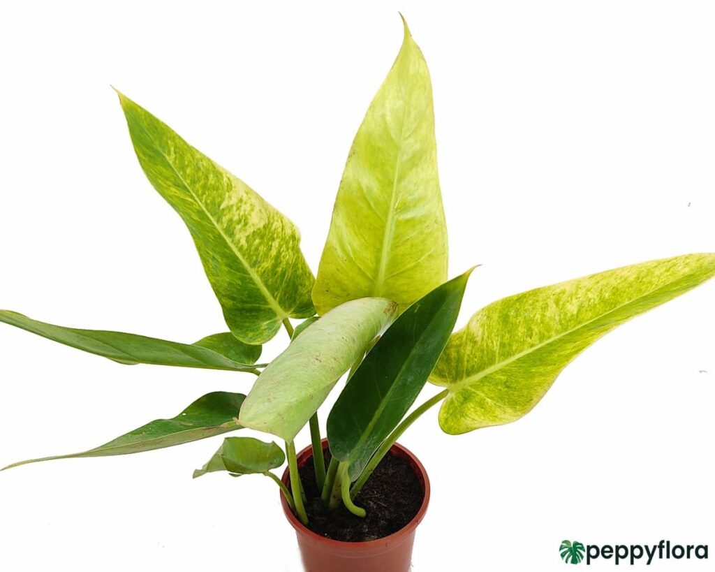 Philodendron-Calkins-Gold-Product-Peppyflora-02-Moz