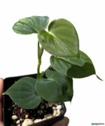 Philodendron-Lupinum-Product-Peppyflora-01-b-Moz