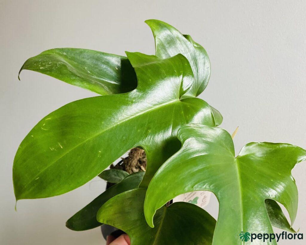 Philodendron-Pedatum-Product-Peppyflora-02-Moz