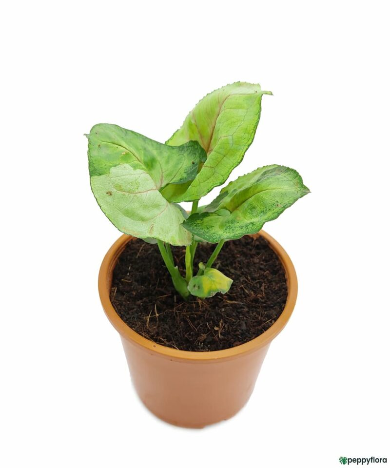 Syngonium-T24-Product-Peppyflora-01-a-Moz