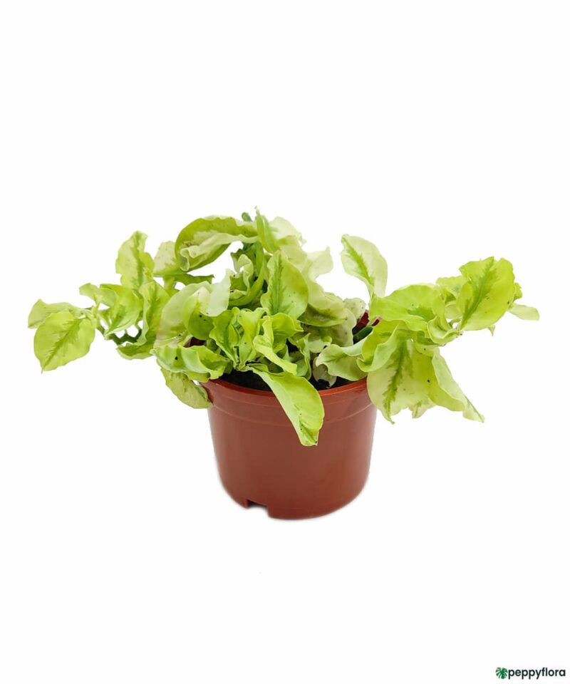 Pedilanthus-Curly-Leaves-Product-Peppyflora-01-a-Moz