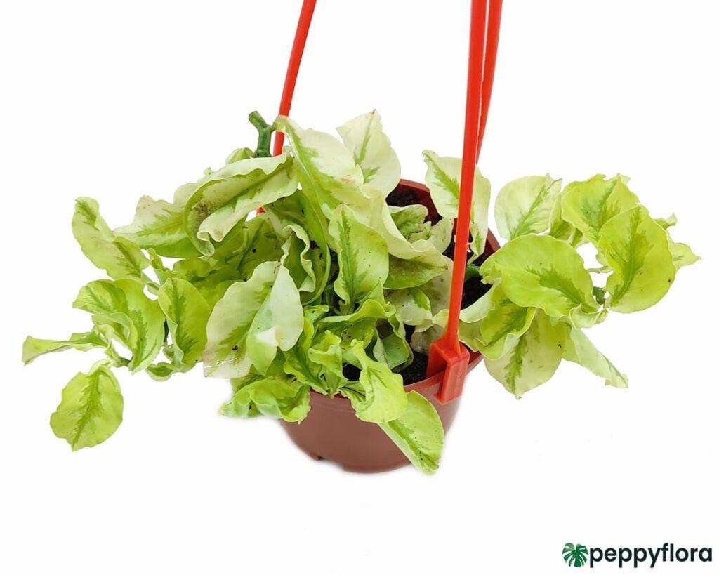 Pedilanthus-Curly-Leaves-Product-Peppyflora-02-Moz